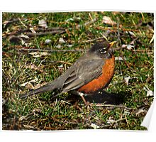 Don't I Look Cute!  (American Robin) Poster