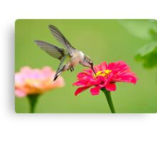 Hummingbird Waiting in the Wings Canvas Print