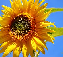 Sunny Sunflower Art by Christina Rollo