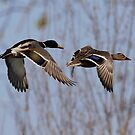 Mallards in flight by Gregg Williams