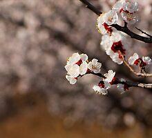 apricot flower by davvi