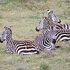 Zebras by Ellen Rosen Singer