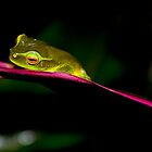 Dwarf Green Tree Frog Cairns Australia. by Jason Clow