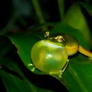Dwarf tree frog calling a mate by Jason Clow