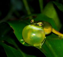 Dwarf tree frog calling a mate by aussiejase