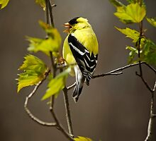 Goldfinch Suspended in Song by Christina Rollo