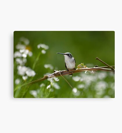 Meadow Hummingbird Canvas Print