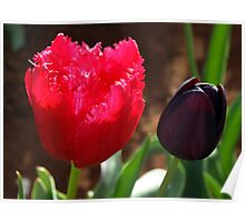 Tulips, Pink Frilly with Queen of the Night Poster