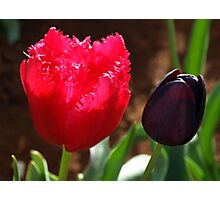 Tulips, Pink Frilly with Queen of the Night Photographic Print