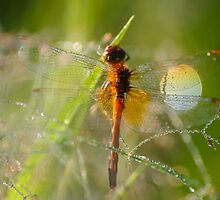 The dragonfly in the dew by Julia Shepeleva
