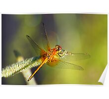 Orange dragonfly at early morning Poster