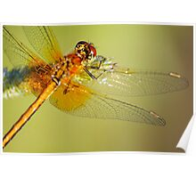 The orange dragonfly at early morning Poster