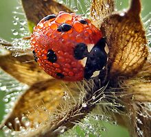 Lady bug in a dew  by Julia Shepeleva
