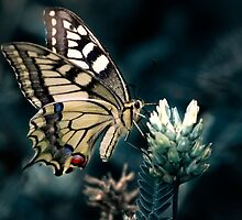 Common Yellow Swallowtail butterfly by Julia Shepeleva