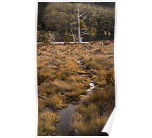 Lone Pencil Pine - Tasmania Poster