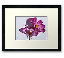 cosmea flower close up Framed Print