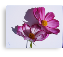 cosmea flower close up Canvas Print