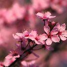 Cherry Bloom by Anthony Thomas