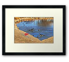 Fighting coot's, in the lake Framed Print