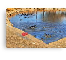 Fighting coot's, in the lake Canvas Print