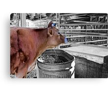 Cow having it's dinner Canvas Print