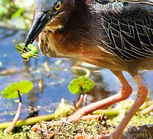 Green Heron Captures Green Larvae by Joe Jennelle