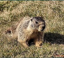 Coulee Dam Marmot  by Don Siebel