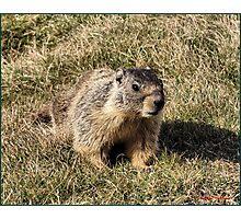 Coulee Dam Marmot  Photographic Print