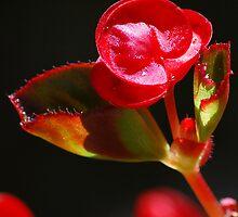 Red velvet flower against black background by Mark Redfern