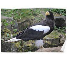 Steller's Sea Eagle #2 Poster