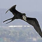 Frigate bird with fresh catch! by jozi1