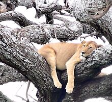 Lion Relaxing by Ellen Rosen Singer