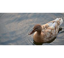 Stone Coloured Duck Photographic Print