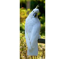 Sulpher Crested Cockatoo 2 Photographic Print