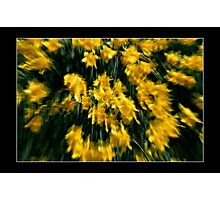 Daffodils in Spring Breeze Photographic Print