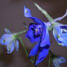 spring blue by yvesrossetti