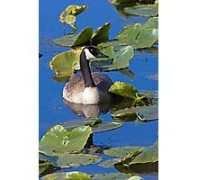 Canada Goose in the Lily Pads Photographic Print