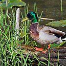 Mallard Drake on a Log by Randall Ingalls