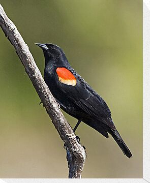 Red Winged Blackbird on a Stick.. by Randall Ingalls
