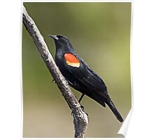 Red Winged Blackbird on a Stick.. Poster