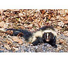 Skunk Photographic Print