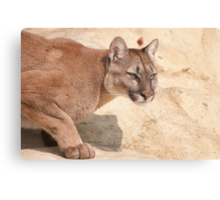 Cougar/Puma  _(Puma Concolor)_ Canvas Print