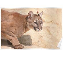 Cougar/Puma  _(Puma Concolor)_ Poster