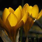 Last Light Crocus by Sharon Woerner