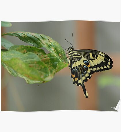 swallow tail Poster