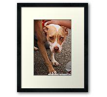 Pit Bull Framed Print
