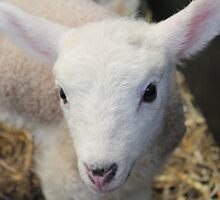 A beautiful little lamb by Abigail Jennings