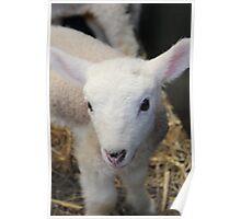 A beautiful little lamb Poster