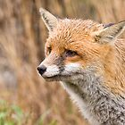 Red Fox  by Sue Earnshaw
