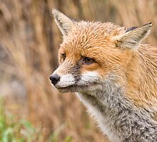Red Fox  by Sue Earnshaw